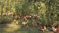 Tarım Müdürlüğü'ne kızdı tavuklarını yaktı