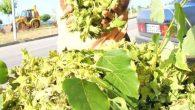 Sahil Yolu'nda satılan çotanak fındık 7 TL'den satılıyor